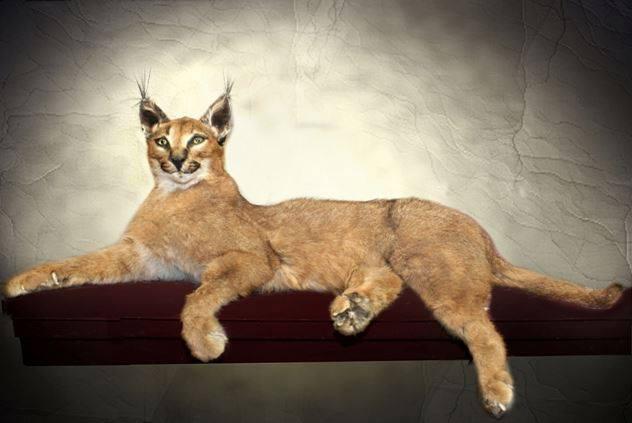 Lynx Life Size
