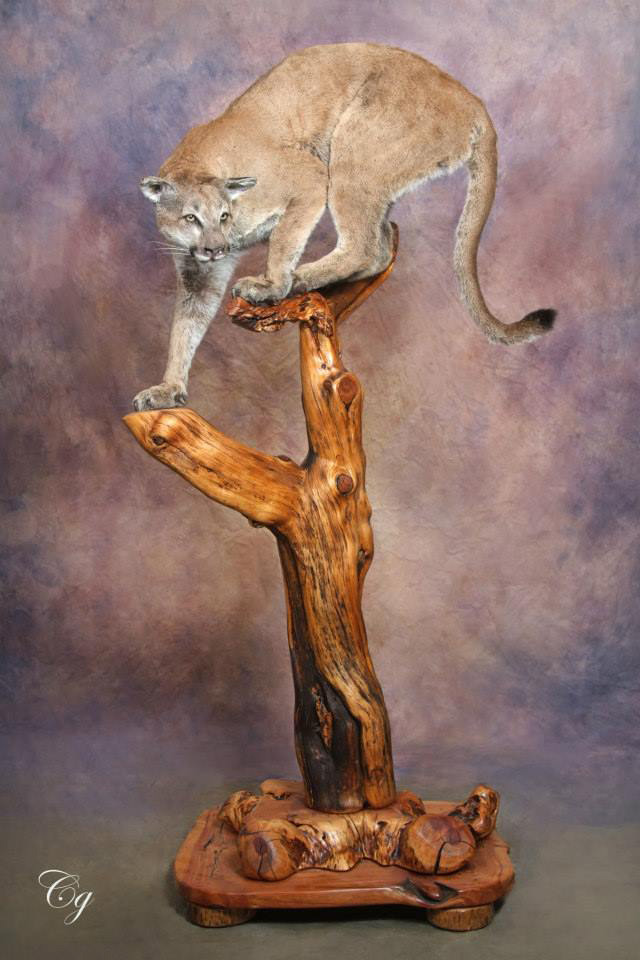 Mountain Lion Life Size in natural pose