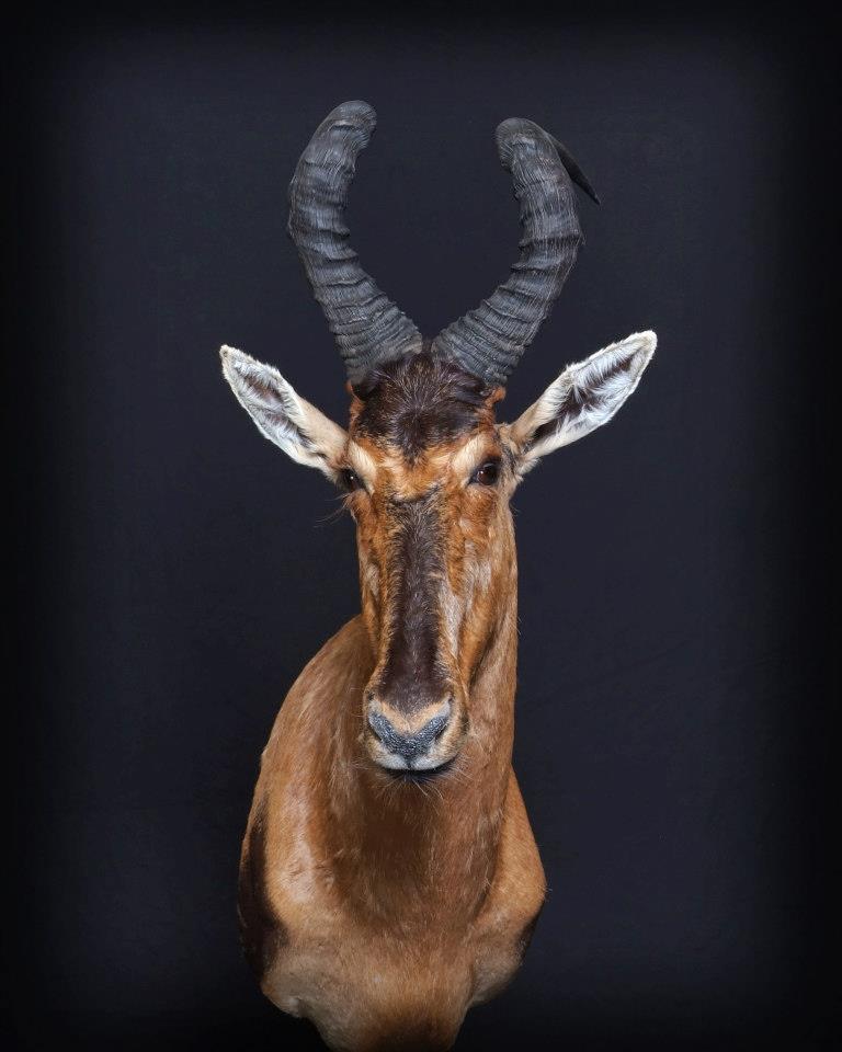 Blesbok mount
