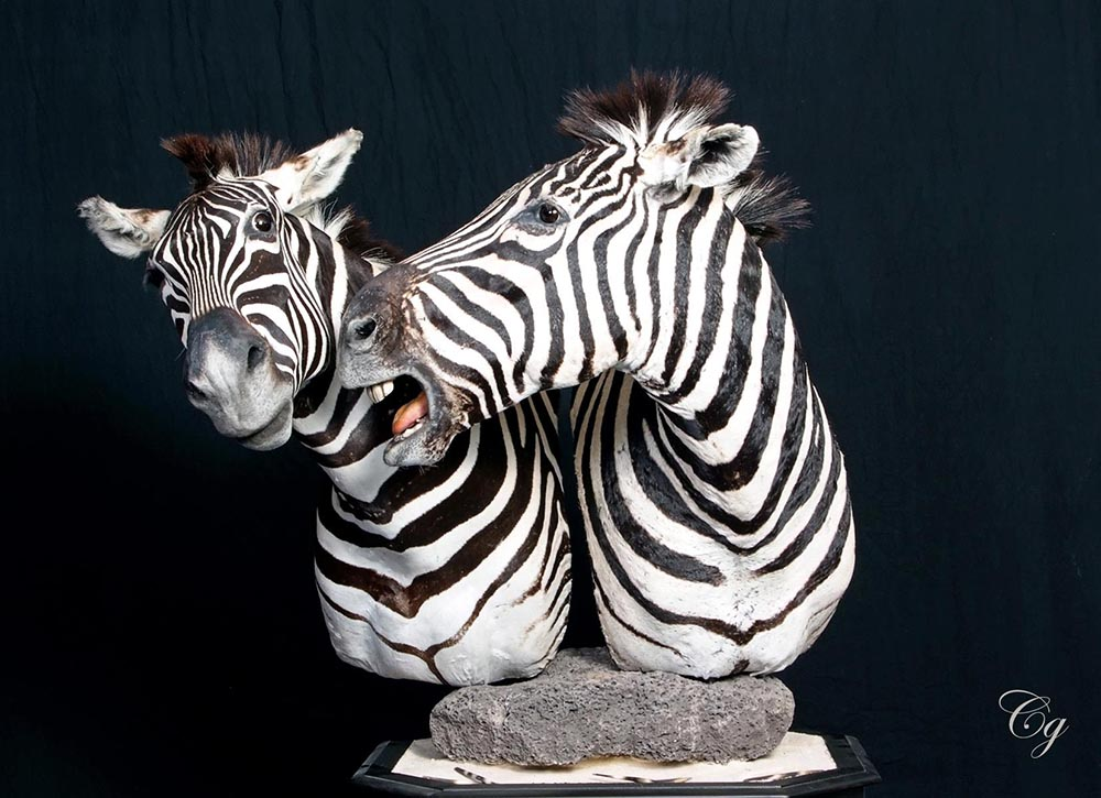 Zebra Shoulder Mounts Posed