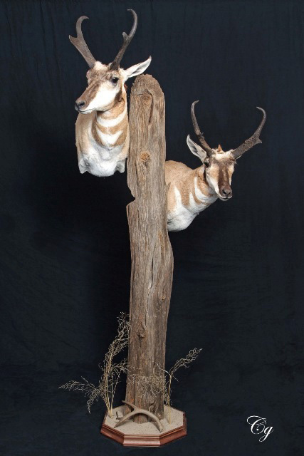 Pronghorn shoulder mount with base.